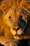 afrykanina zamkniętego lwa męski portret w górę dzikiego Zdjęcia Royalty Free