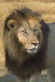 afrykanina zamknięty lwa portret zamknięty Zdjęcia Stock