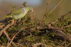 Afrykanina Zielony gołąb (Treron calva) Zdjęcia Royalty Free