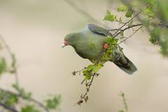 Afrykanina Zielony gołąb (Treron calvus) Fotografia Stock