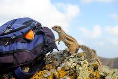 Afrykanina zmielona wiewiórcza patrzeje pomarańcze w plecaku Zdjęcie Royalty Free