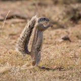 Afrykanina Zmielony Wiewiórczy karmienie Fotografia Royalty Free