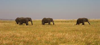 afrykańscy słonie Zdjęcie Royalty Free