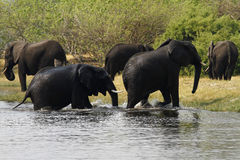 Afrykańscy słonie Obrazy Royalty Free