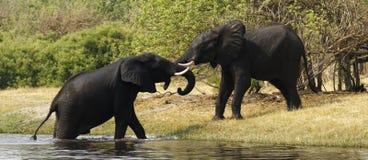 Afrykańscy słonie Fotografia Royalty Free