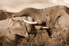 Afrykańscy słonie walczy, bagażnika zapaśnictwo/ Zdjęcia Royalty Free
