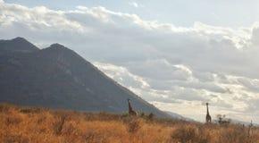 Afrykańska sawanna i żyrafy Obrazy Royalty Free