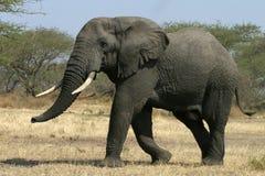 słoń afrykański Obrazy Stock