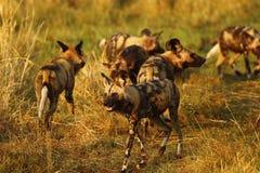 Afrykański dzikich psów zawsze części jedzenie Fotografia Royalty Free