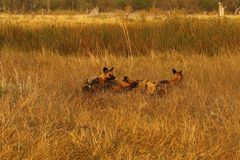 Afrykański dzikich psów zawsze części jedzenie Zdjęcia Stock