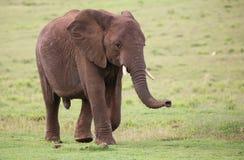 afrykańskiego słonia samiec Fotografia Stock