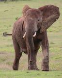afrykańskiego słonia samiec Obrazy Royalty Free