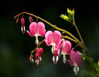 Aftappend Hart (Dicentra Spectabilis) Stock Foto's