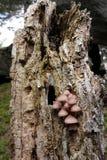Aftappende feehelm of het aftappen Mycena Stock Afbeeldingen