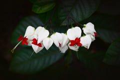 Aftappende hartbloem Royalty-vrije Stock Fotografie