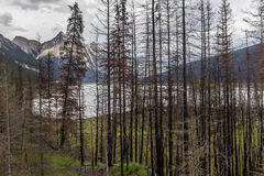 Aftermath of a Forest Fire - Jasper National Park Royalty Free Stock Photo