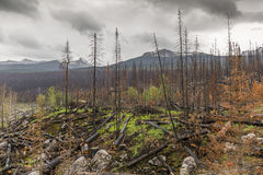 Aftermath of a Forest Fire - One Year Later Stock Photography