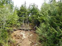 Aftermath of a landslide. Damaged trees standing dangerously on the edge of an eroded surface in the aftermath of a landslide Stock Image