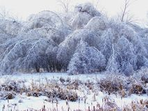 The afternath of heavy freezing rain, bending trees. Under the weight of ice Stock Image