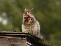 Afternoo snack. Took this picture  of a squirrel  eating leftovers on a cup cake wrapper Stock Photo