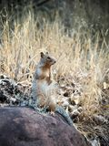 Ground Squirrel at the bottom of the Grand Canyon. Afternoon on the Bright Angel trail in Grand Canyon National Park, alone this handsome squirrel Royalty Free Stock Image