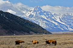 Afternoon buffalo. Buffalo in Grand Teton National Park and Bordering The National Elk Refuge Royalty Free Stock Images