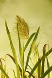 Afternoon cane. Sugar cane stalks and flower head against golden sky Royalty Free Stock Images