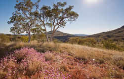 Afternoon Desert Wildflowers. A landscape view of a rugged desert area in the late afternoon with back-lit purple desert flowers and a gum tree centre and left royalty free stock photo