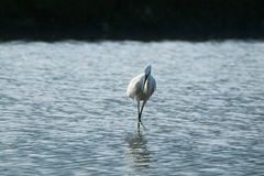In the afternoon, the egrets are calmly watching the water, simple and quiet. royalty free stock photos