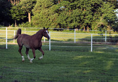 Afternoon Gallop. Arabian horse galloping across the pasture Stock Images