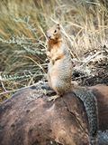 Ground Squirrel Portrait in the Grand Canyon. Afternoon in Grand Canyon National Park, alone this handsome squirrel who was quick to strike up a pose for the royalty free stock images