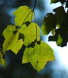 Afternoon Leaf. A picture of leaves where the sun is hitting them from behind Stock Photos