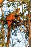 Afternoon lemur Kirindy Royalty Free Stock Image