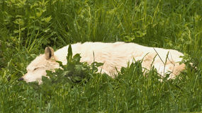 Afternoon nap. Wolf sleeping on a summer day in a meadow Stock Photos