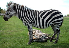 Zebra taking afternoon nap Stock Image