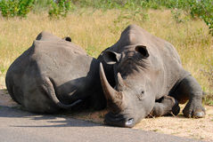 Afternoon nap - Kruger National Park. White Rhino  Endangered  Stop poaching Stock Photos