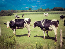 Afternoon in the pasture. The cows walk quietly in the pasture royalty free stock photos
