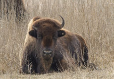 Afternoon Prairie Buffalo Royalty Free Stock Photo