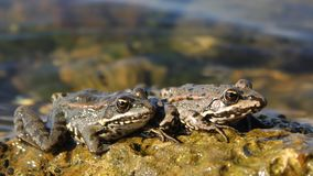 Afternoon repose: a couple of frogs Royalty Free Stock Image