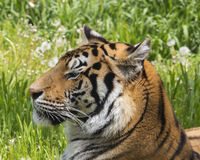 Afternoon shade. Tiger resting in the shade and lush green grass Stock Photography