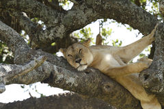 Afternoon Siesta Royalty Free Stock Images