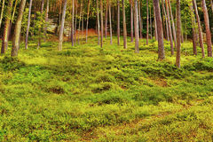Afternoon situation in summer pine forest in the shade with blueberries in tourist area Machuv kraj in czech landscape Royalty Free Stock Images
