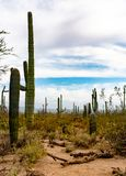 Afternoon sky in Saguaro National Park. Shades of green wondering the desert paths in Saguaro National Park stock image