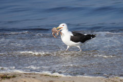 Afternoon snack. A seagull on Cape Cod catches a crab for an afternoon snack on the ocean shore Stock Photo