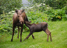 Afternoon Snack 2. Moose cow feeds moose calf Stock Photos