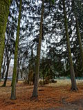 Afternoon at the spruce forest Stock Photography