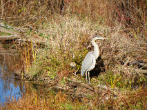 Afternoon sun illuminates a hungry Great Blue Heron in late fall Stock Photography