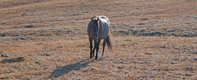 Afternoon sun lighting up a Wild Horse Grulla Gray colored Mare on Sykes Ridge above Teacup Bowl in the Pryor Mountains Royalty Free Stock Images