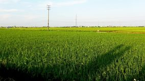 Afternoon sunshine in the yellow rice fields royalty free stock photography