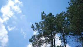 Afternoon Timelapse of clouds rolling by tall conifer trees in nature park ALT.  stock video footage